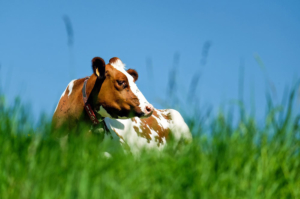 Cow's milk allergy