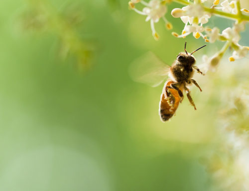 Bee Venom Allergy – Coping in Schools
